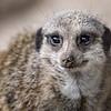 Merely a Meerkat