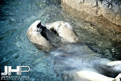 """Toronto Polar Bear #3"", Toronto Zoo, 2013 Print JP13-99-024"