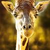 Proud Giraffe - Copyright 2016 Steve Leimberg - UnSeenImages Com _A6I2840