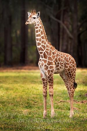 Giraffe 2 - Copyright 2016 Steve Leimberg - UnSeenImages Com _A6I4611