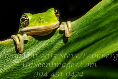 Frog Looking at Me - Copyright 2017 Steve Leimberg UnSeenImages Com _Z2A9177