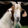 Billy Goat Gruff - Celestial Farm - Copyright 2015 Steve Leimberg - UnSeenImages Com _H1R2919