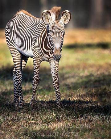 Baby Zebra - Copyright 2016 Steve Leimberg - UnSeenImages Com _A6I3593
