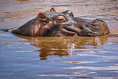 Hippo Kenya Copyright 2021 Steve Leimberg UnSeenImages Com _DSC7836