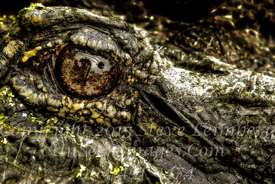 Eye of the Alligator - Copyright 2016 Steve Leimberg - UnSeenImages Com _Z2A9354