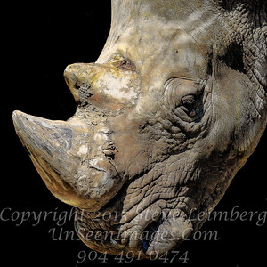 Rhino Horn - Copyright 2016 Steve Leimberg - UnSeenImages Com _H1R2053
