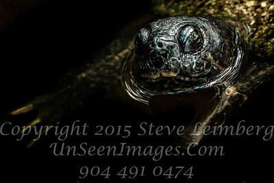 Turtle - Copyright 2017 Steve Leimberg UnSeenImages Com _Z2A8069