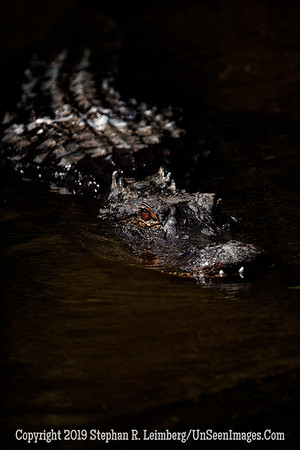 Alligator - Copyright 2018 Steve Leimberg UnSeenImages Com _Z2A7088