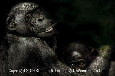 Mom and Child Bonobo Copyright 2019 Steve Leimberg UnSeenImages Com _Z2A0478