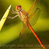 Red Dragon Fly - PAINTING - Copyright 2016 Steve Leimberg - UnSeenImages Com _A6I4122