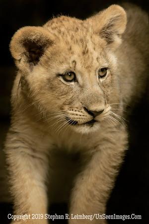 Lion King Club - Copyright 2014 Steve Leimberg - UnSeenImages Com _H1R0225