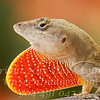 Red Tie Anole - Copyright 2016 Steve Leimberg - UnSeenImages Com _A6I7057