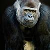 Gorilla - Copyright 2016 Steve Leimberg - UnSeenImages Com _A6I5655