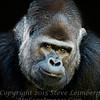 Gorilla - Close Up - Copyright 2016 Steve Leimberg - UnSeenImages Com _A6I5655