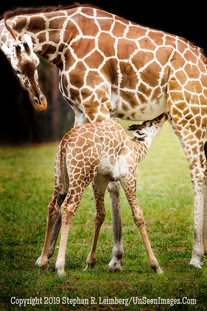Giraffe Mom and Baby - Copyright 2018 Steve Leimberg - UnSeenImages Com _A6I4678