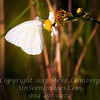 White Butterfly - Copyright 2016 Steve Leimberg - UnSeenImages Com _A6I6117