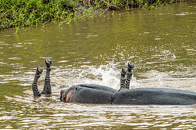 Zebra and non vegan Hippo Copyright 2021 Steve Leimberg UnSeenImages Com _DSC6369