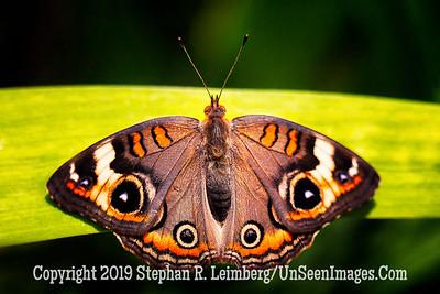 Butterfly - Copyright 2018 Steve Leimberg UnSeenImages Com L1290013