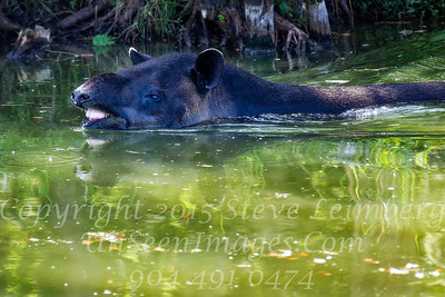 Wild Boar Swimming at White Oak - Copyright 2016 Steve Leimberg - UnSeenImages Com _L8I4868