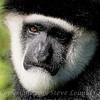 Monkey See - Copyright 2016 Steve Leimberg - UnSeenImages Com _A6I5478