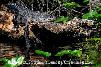 Gator on a Log Copyright 2019 Steve Leimberg UnSeenImages Com _A6I9533