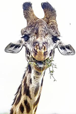 Giraffe in Kenya Copyright 2021 Steve Leimberg UnSeenImages Com _Z2A3893