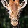 Giraffe - Copyright 2016 Steve Leimberg - UnSeenImages Com _A6I5233