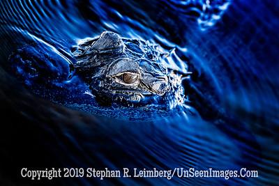 Gator - Copyright 2019 Steve Leimberg UnSeenImages Com _A6I8624