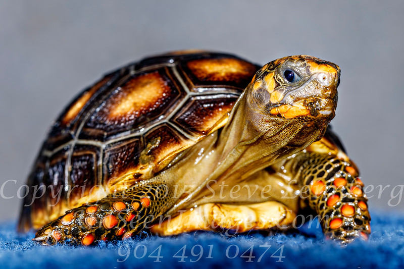 Packer Baby_Tortise - Copyright 2017 Steve Leimberg UnSeenImages Com Z2A1455