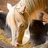White Horse Eating - Copyright 2016 Steve Leimberg - UnSeenImages Com L1050454