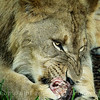 Lion Cub Eating - Copyright 2016 Steve Leimberg - UnSeenImages Com _A6I4753