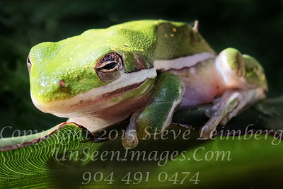 Frog on Leaf - Copyright 2017 Steve Leimberg UnSeenImages Com _Z2A9193