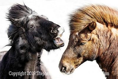 Icelandic Horses Copyright 2019 Steve Leimberg UnSeenImages Com _Z2A7512
