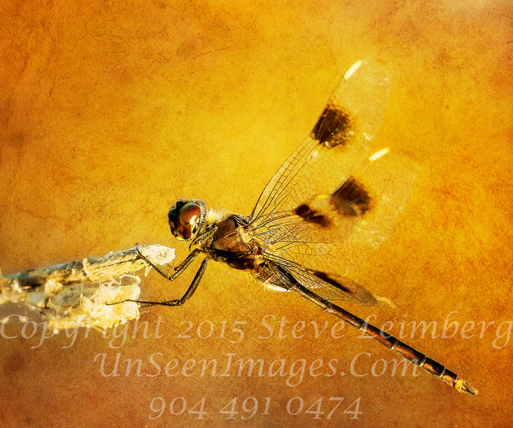 Brown Dragonfly - PAINTING - Copyright 2016 Steve Leimberg  - UnSeenImages Com _Z2A8900