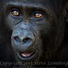 Baby Gorilla - Copyright 2016 Steve Leimberg - UnSeenImages Com _A6I5758