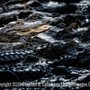 Alligator - What's for Lunch Copyright 2015 Steve Leimberg - UnSeenImages Com _M1A8164