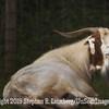 King Billy Goat Gruff - Copyright 2015 Steve Leimberg  UnSeenImages Com _H1R3266
