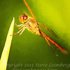 Red Dragonfly - PAINTING II  - Copyright 2016 Steve Leimberg - UnSeenImages Com _A6I4144