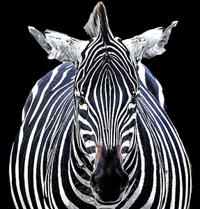 Kenya Zebra Close Up Copyright 2021 Steve Leimberg UnSeenImages Com _Z2A3828 copy