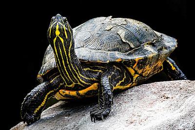 Proud Turtle Copyright 2021 Steve Leimberg UnSeenImages Com _DSC0742