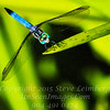 Dragonfly - PAINTING - Copyright 2016 Steve Leimberg - UnSeenImages Com _Z2A8217