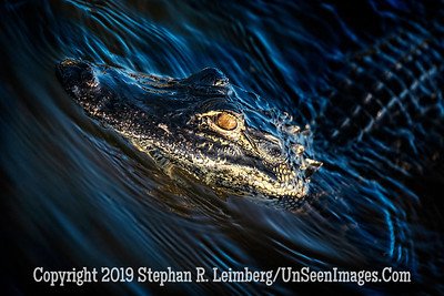 Gator Profile Copyright 2019 Steve Leimberg UnSeenImages Com _A6I8450