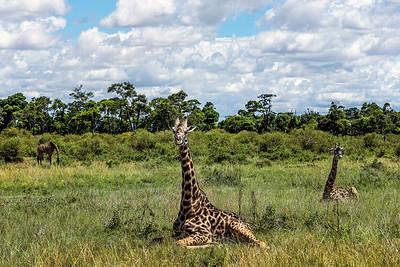Sitting Giraffes Kenya Copyright 2021 Steve Leimberg UnSeenImages Com _DSC3183