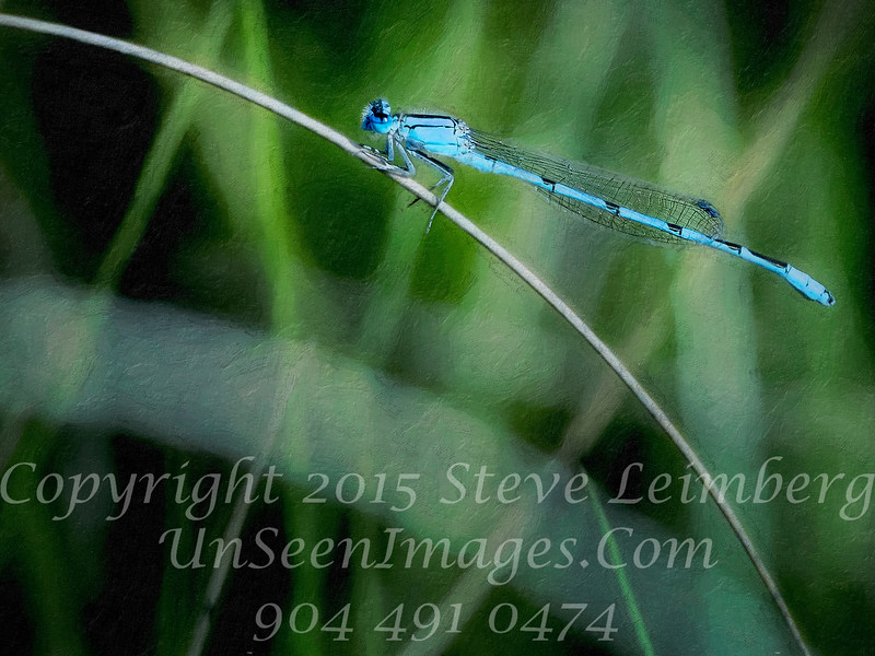 Blue Dragonfly - CLOSE UP PAINTING - Copyright 2016 Steve Leimberg - UnSeenImages Com _Z2A8664