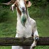 Billy Goat GRUFF - Copyright 2015 Steve Leimberg - UnSeenImages Com _H1R2859
