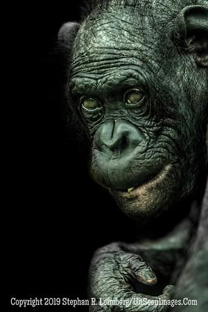 Bonobo - Copyright 2019 Steve Leimberg UnSeenImages Com _Z2A0396