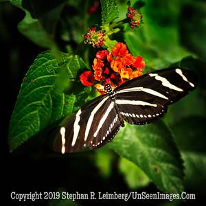 Zebra's Cousin - Copyright 2018 Steve Leimberg UnSeenImages Com L1290807