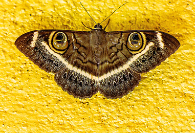 Kenya Moth Copyright 2021 Steve Leimberg UnSeenImages Com