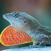 Red Tie Anole - Copyright 2016 Steve Leimberg - UnSeenImages Com _A6I7062