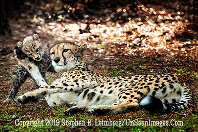 Mom Playing with Cub - Copyright 2018 Steve Leimberg UnSeenImages Com _A6I4780